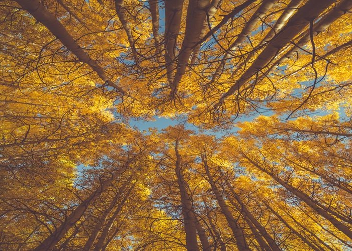 tall trees with yellow leaves