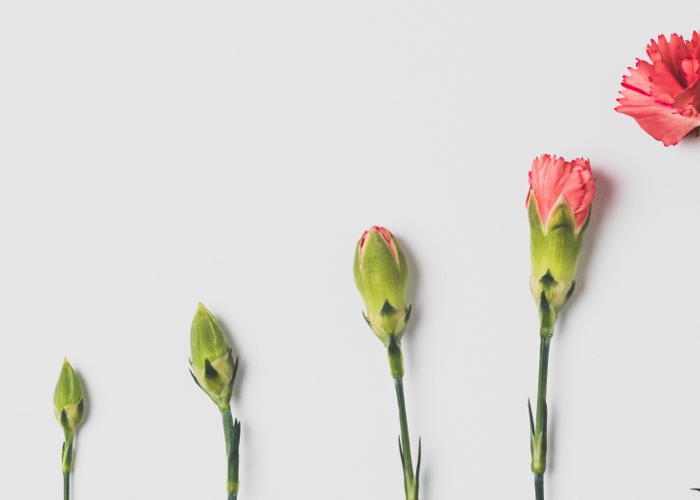 A row of carnations lined up in order of height and bloom phase to resemble a graph.